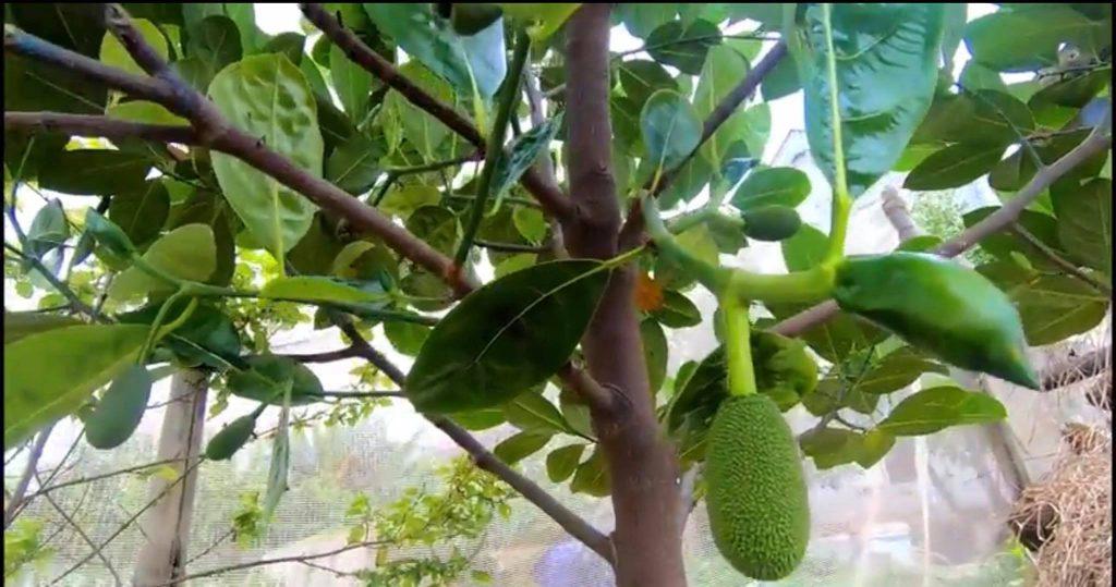 cây mít Thái siêu sớm ra quả