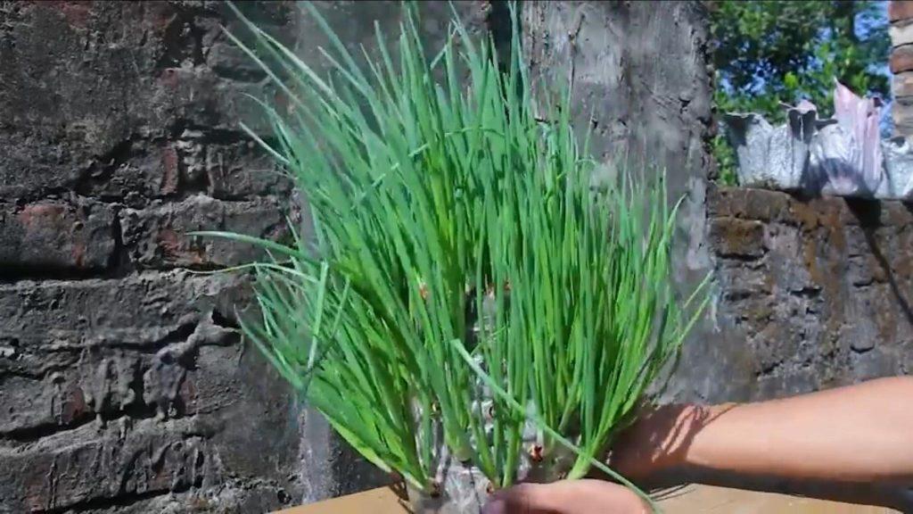 trồng hành lá bằng chai nhựa