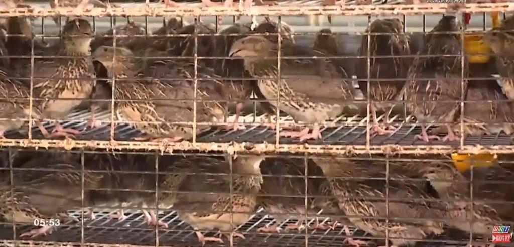 chuồng nuôi chim cút
