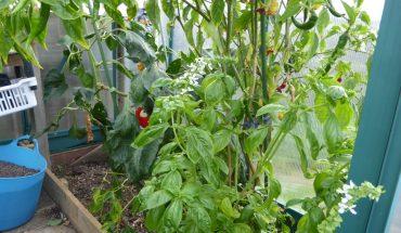 trồng ớt trong chậu đơn giản, tiết kiệm và nhiều trái