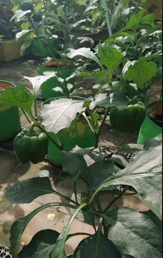 trồng ớt trong chậu cực đơn giản, tiết kiệm và thu được nhiều trái