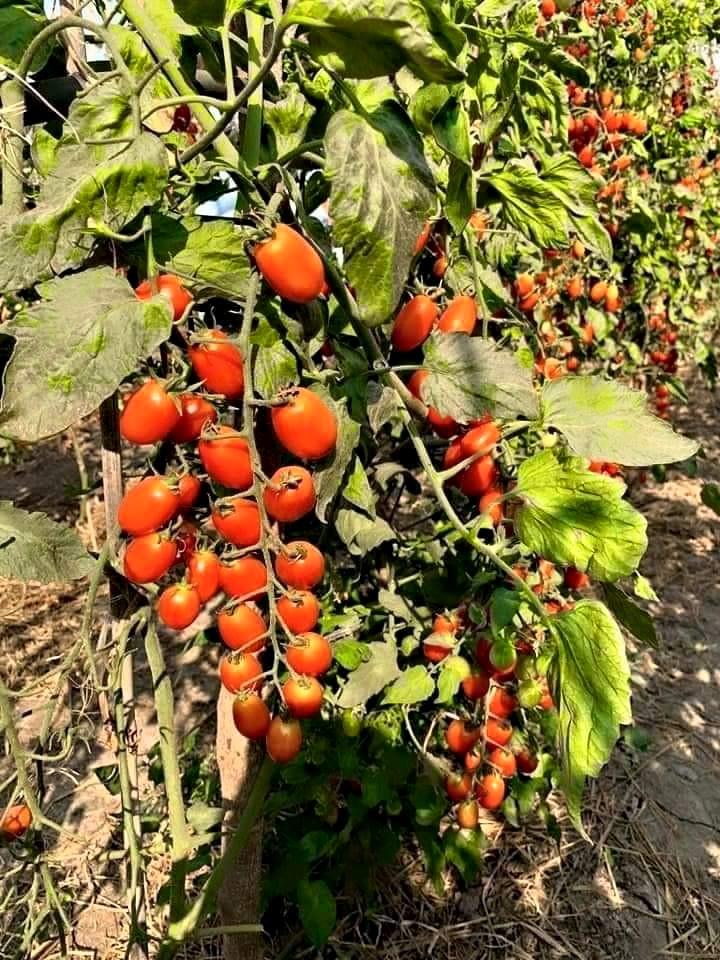 cây cà chua bạch tuộc được ánh nắng mặt trời chiếu sáng