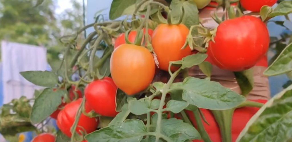 """Kỹ thuật trồng và chăm sóc cà chua dây leo """"sai quả"""" dễ dàng"""