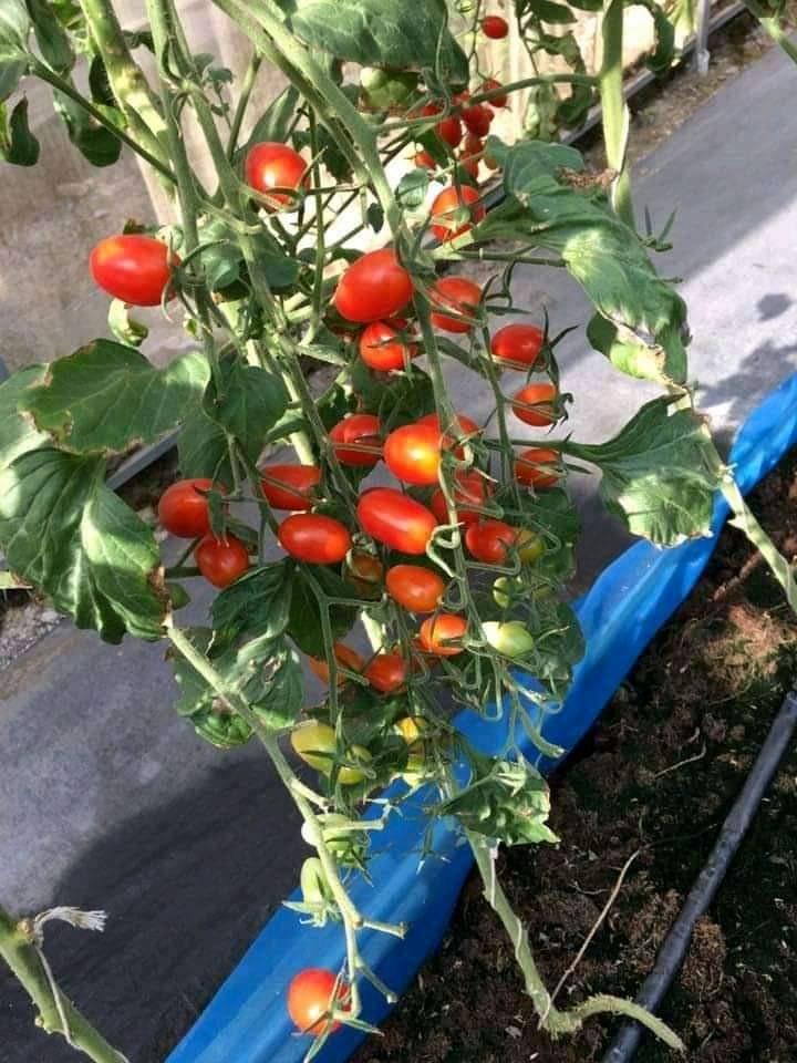 cà chua leo giàn quả nhót