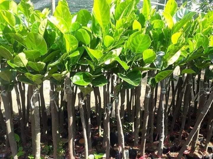 cây mít Thái siêu sớm lúc nhỏ