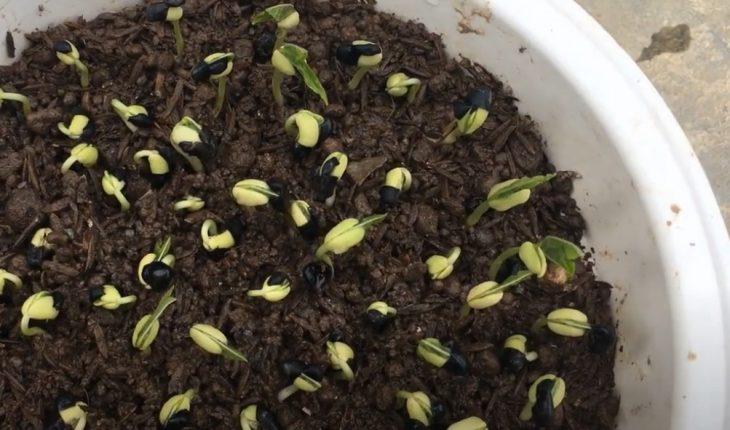 cách trồng đậu đen