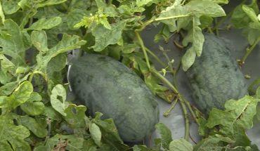 """Cách trồng dưa hấu trong thùng xốp """"hiệu quả"""" khi không có vườn"""