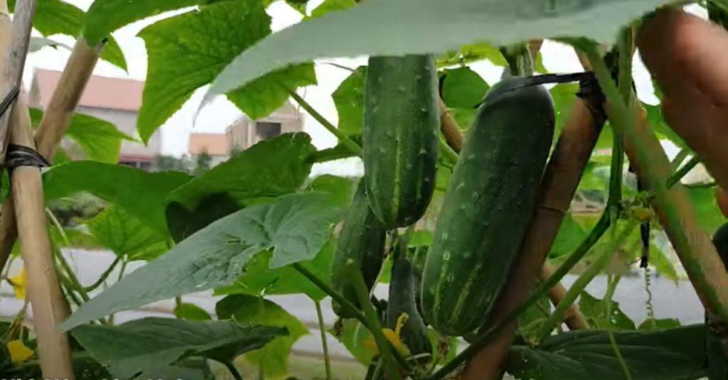 """Cách trồng dưa leo sạch """"hiệu quả bất ngờ"""" ngay tại NHÀ và cả NÔNG TRẠI"""