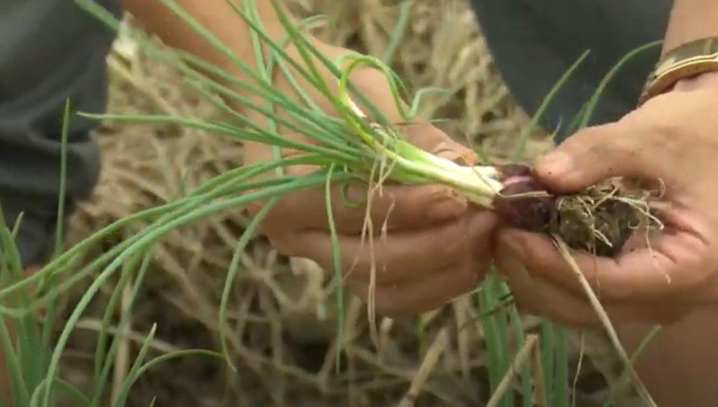 """Bạn đã biết cách trồng Hành Lá tại nhà """"siêu đơn giản"""" chưa?"""