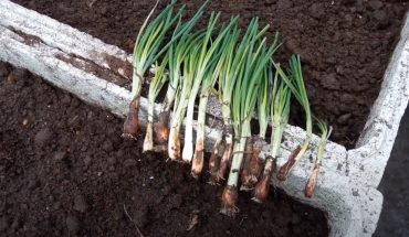 cách trồng hành lá