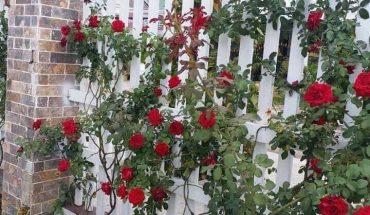 """Cách trồng hoa hồng leo tường vi sai hoa """"vô cùng hiệu quả"""""""
