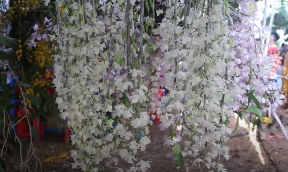 """Cách ghép lan rừng vào thân cây & Mẹo giúp lan """"nở rộ"""" hiệu quả"""