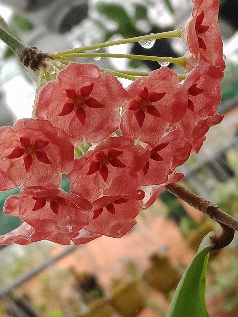 Hoa Lan Cẩm cù đang nở