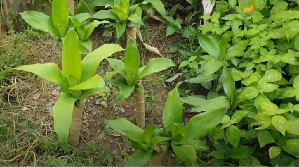 Cách trồng cây phát tài trong nước hiệu quả chỉ qua 5 bước