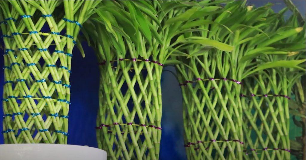 Cách trồng cây phát tài trong nước hiệu quả chỉ qua 2 bước