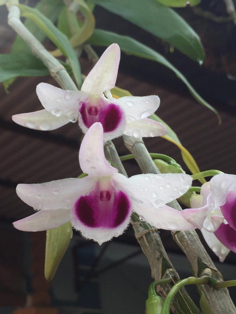 Lan phi điệp ra hoa