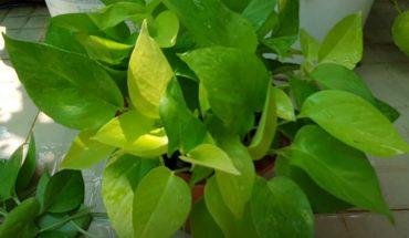 17 loài cây chống muỗi vô cùng lợi hại & mẹo chăm sóc hiệu quả