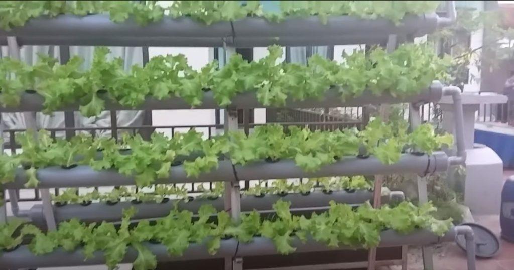 trồng rau thủy canh bằng ống nhựa PVC