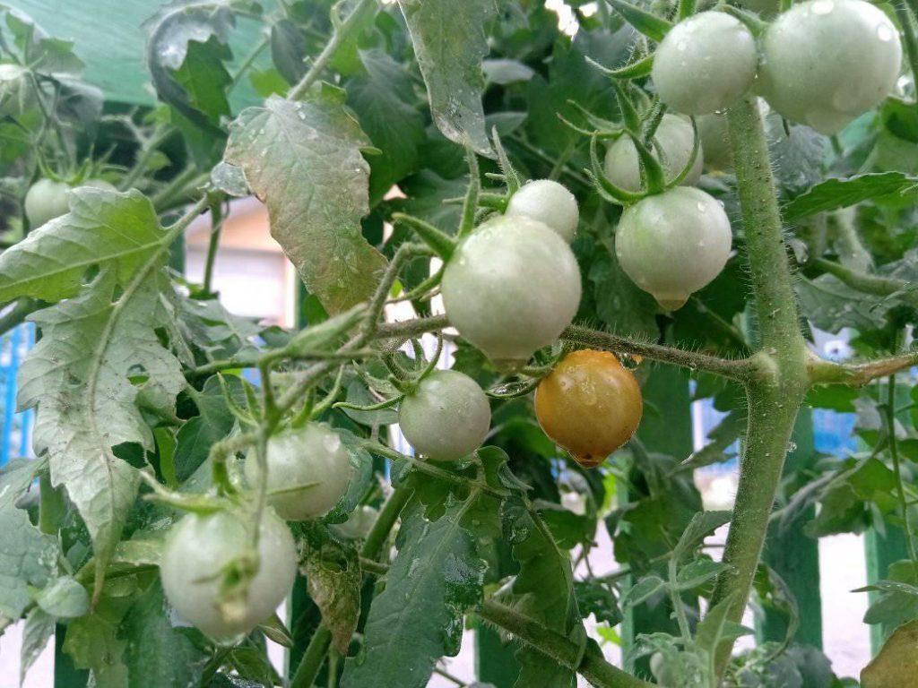 """Trồng và chăm sóc cà chua bi """"sai trĩu quả"""" vô cùng đơn giản"""