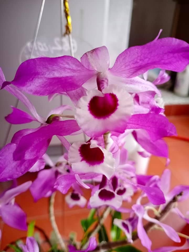 Hoa lan nở