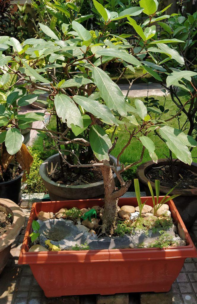 Kỹ thuật trồng & chăm sóc CÂY SUNG CẢNH chi tiết, đầy đủ nhất