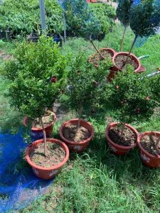 vườn cây nho thân gỗ