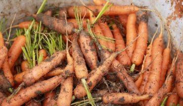 cách trồng cà rốt trong thùng xốp