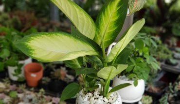 Cách chăm sóc cây vạn niên thanh