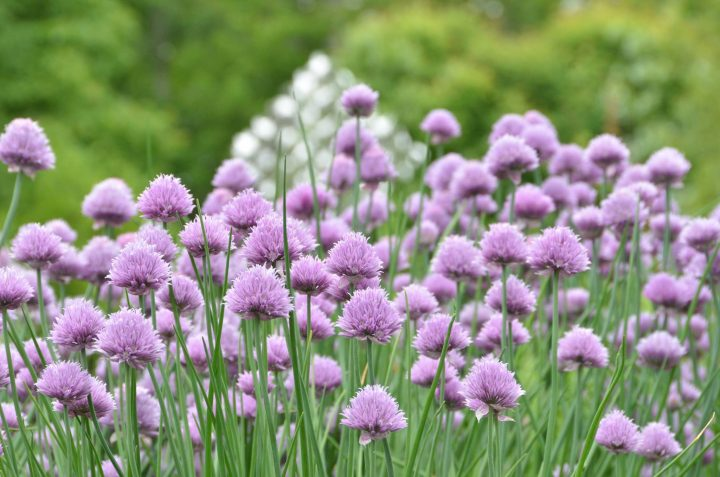 hoa Củ nén