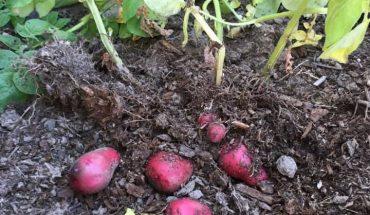 cách trồng khoai tây